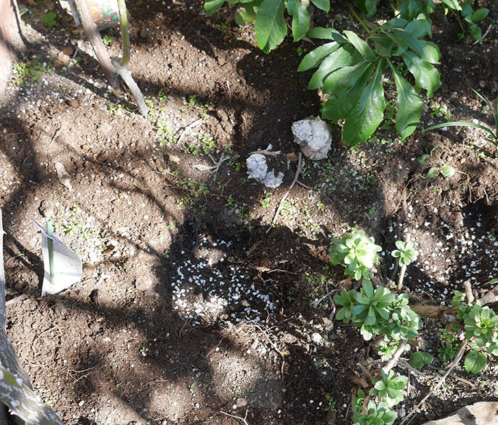 ソニャドール(ツルバラ)に寒肥を施した。2020年-4.jpg