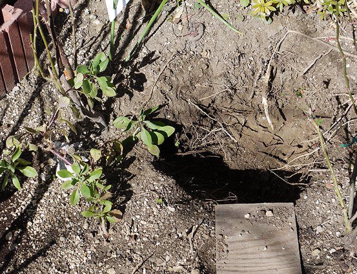 ソニャドール(ツルバラ)に穴を掘って寒肥をやった。2017年-1.jpg