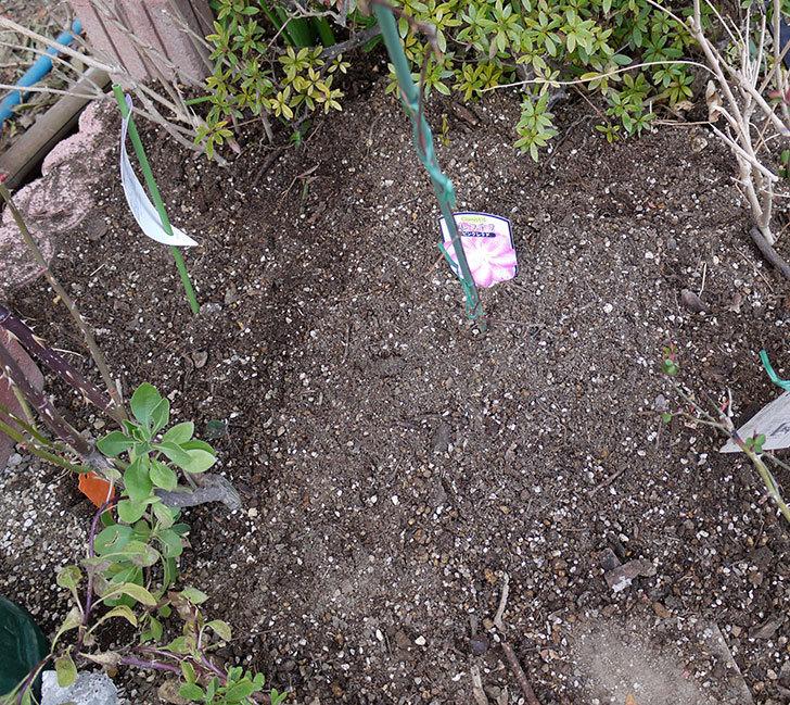 ソニャドール(ツルバラ)に穴を掘って寒肥をやった。2017年-9.jpg