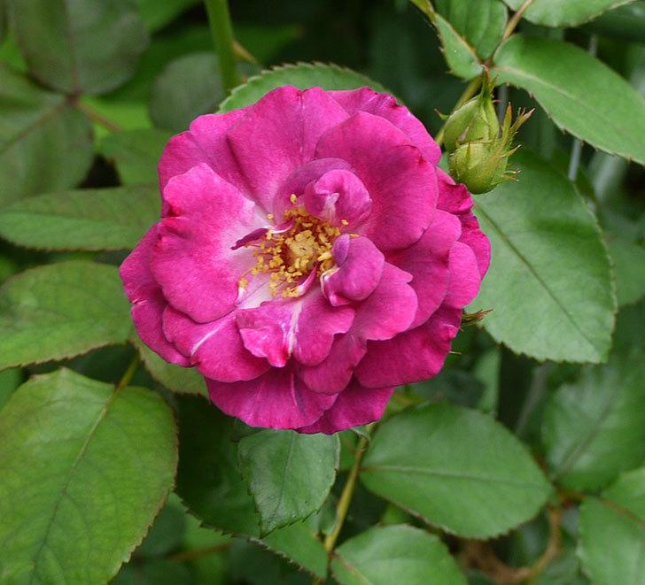 ソニャドール(ツルバラ)の2番花が咲いた。2016年-1.jpg