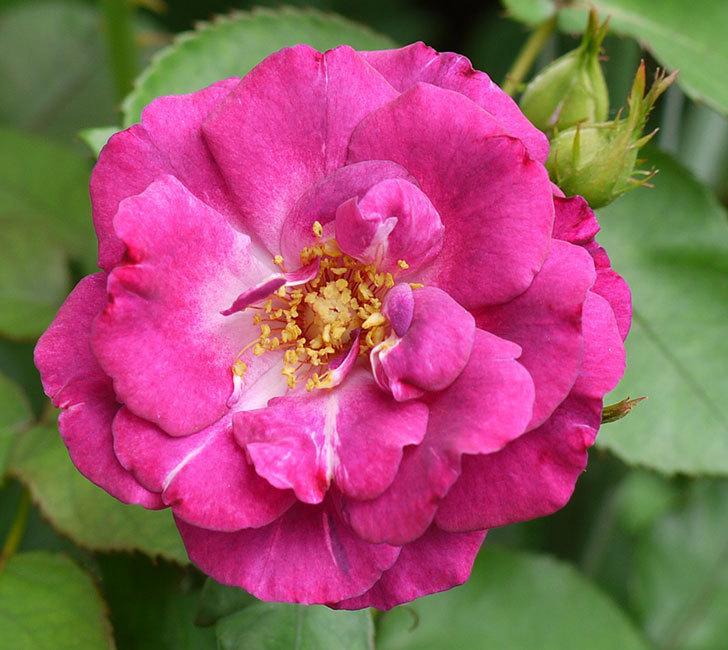 ソニャドール(ツルバラ)の2番花が咲いた。2016年-2.jpg