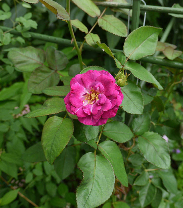 ソニャドール(ツルバラ)の2番花が咲いた。2016年-3.jpg