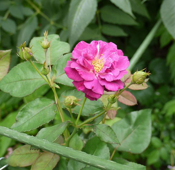 ソニャドール(ツルバラ)の2番花が咲いた。2016年-4.jpg