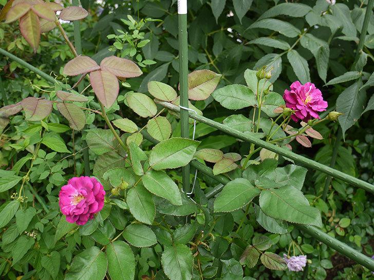 ソニャドール(ツルバラ)の2番花が咲いた。2016年-6.jpg