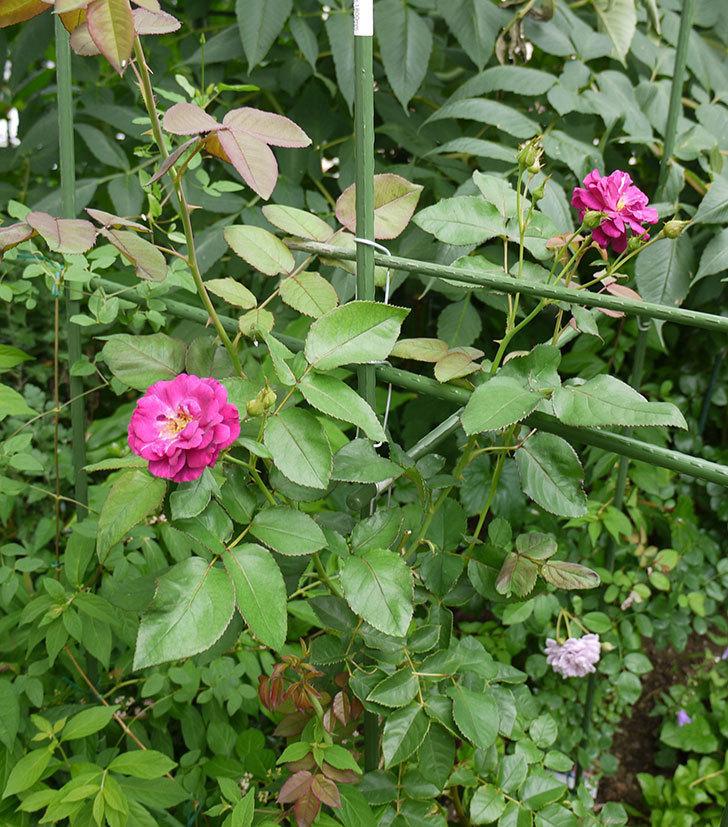 ソニャドール(ツルバラ)の2番花が咲いた。2016年-7.jpg