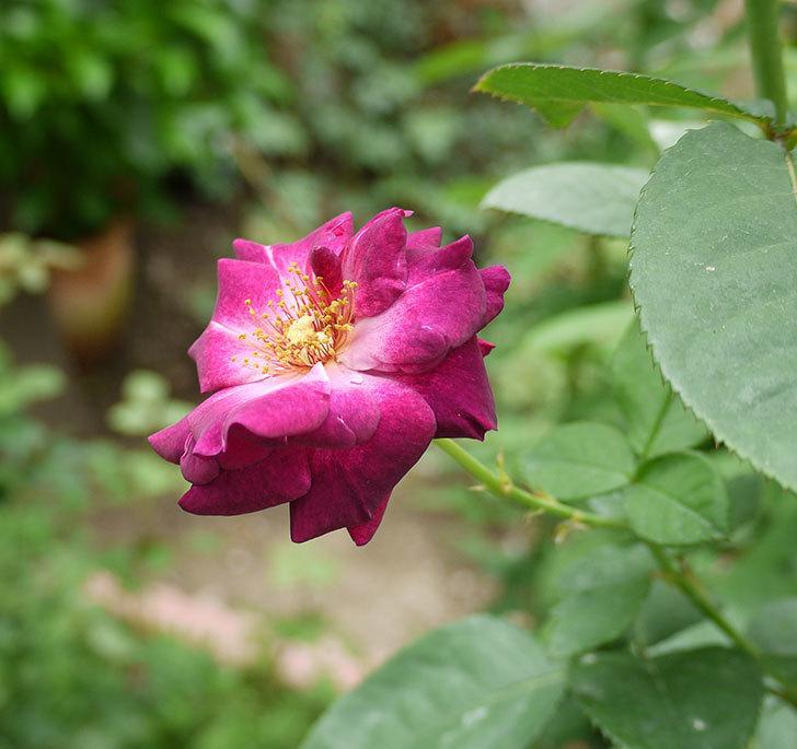 ソニャドール(ツルバラ)の3番花が咲いた。2016年-1.jpg