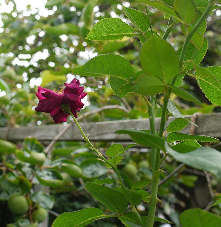 ソニャドール(ツルバラ)の3番花が咲いた。2016年-3.jpg
