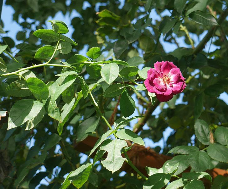 ソニャドール(ツルバラ)の夏花がまた咲いた。2018年-1.jpg
