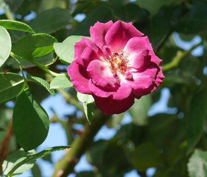 ソニャドール(ツルバラ)の夏花がまた咲いた。2018年-2.jpg