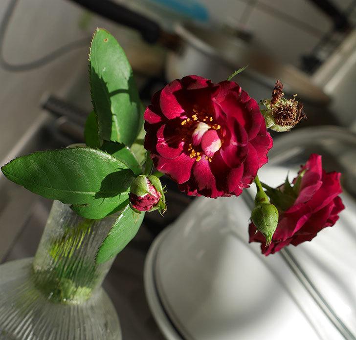 ソニャドール(ツルバラ)の夏花が咲いた。2018年-1.jpg