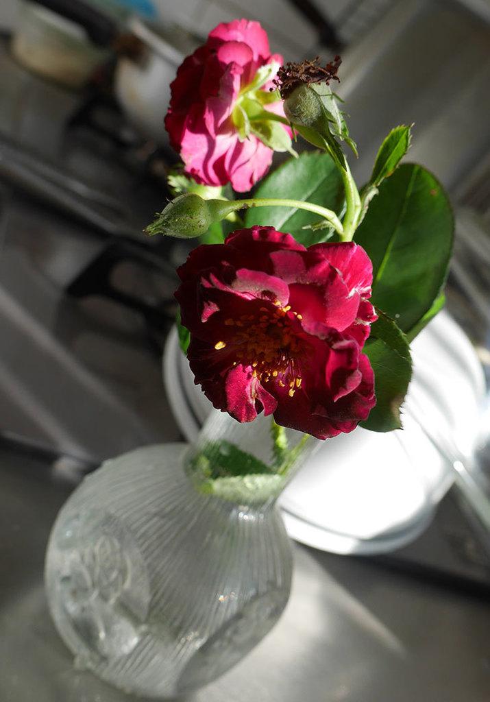ソニャドール(ツルバラ)の夏花が咲いた。2018年-2.jpg