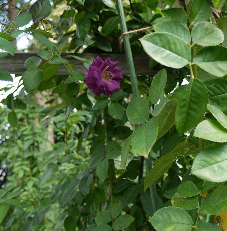 ソニャドール(ツルバラ)の秋花がまた咲いた。2016年-5.jpg
