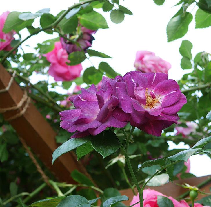 ソニャドール(ツルバラ)の花がまた咲いた。2019年-1.jpg