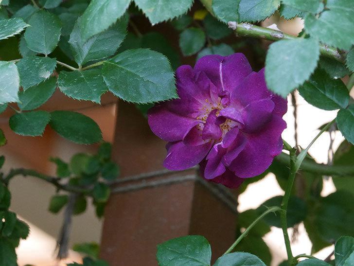 ソニャドール(ツルバラ)の花がまた咲いた。2019年-10.jpg