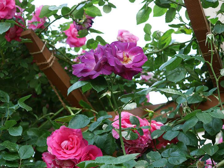 ソニャドール(ツルバラ)の花がまた咲いた。2019年-2.jpg