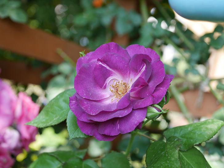 ソニャドール(ツルバラ)の花がまた咲いた。2019年-4.jpg