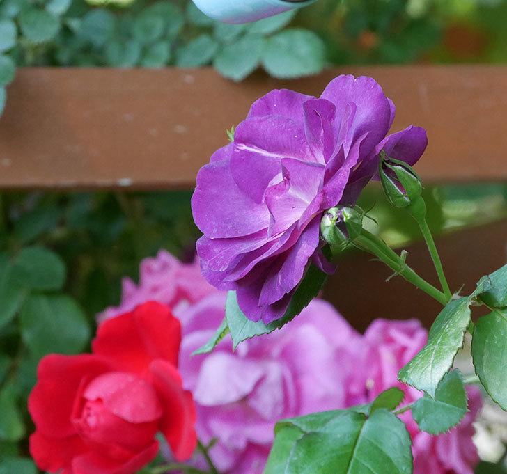 ソニャドール(ツルバラ)の花がまた咲いた。2019年-5.jpg
