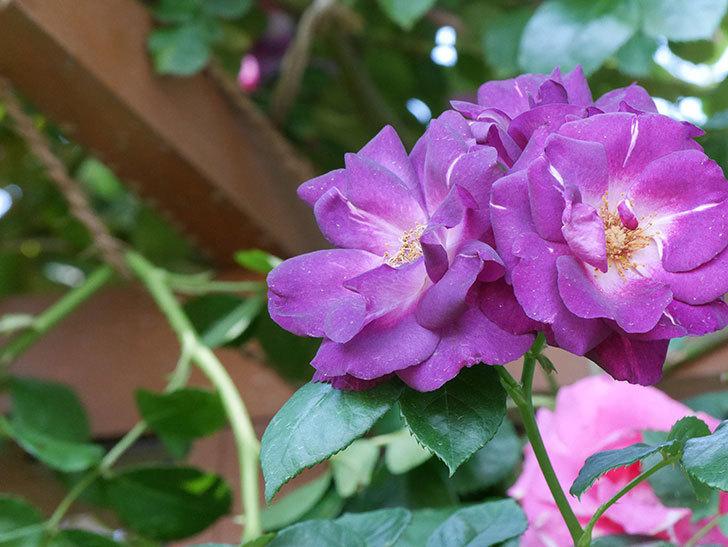ソニャドール(ツルバラ)の花がまた咲いた。2019年-7.jpg