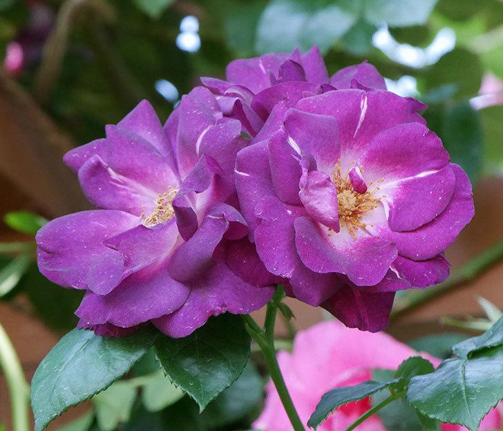 ソニャドール(ツルバラ)の花がまた咲いた。2019年-8.jpg