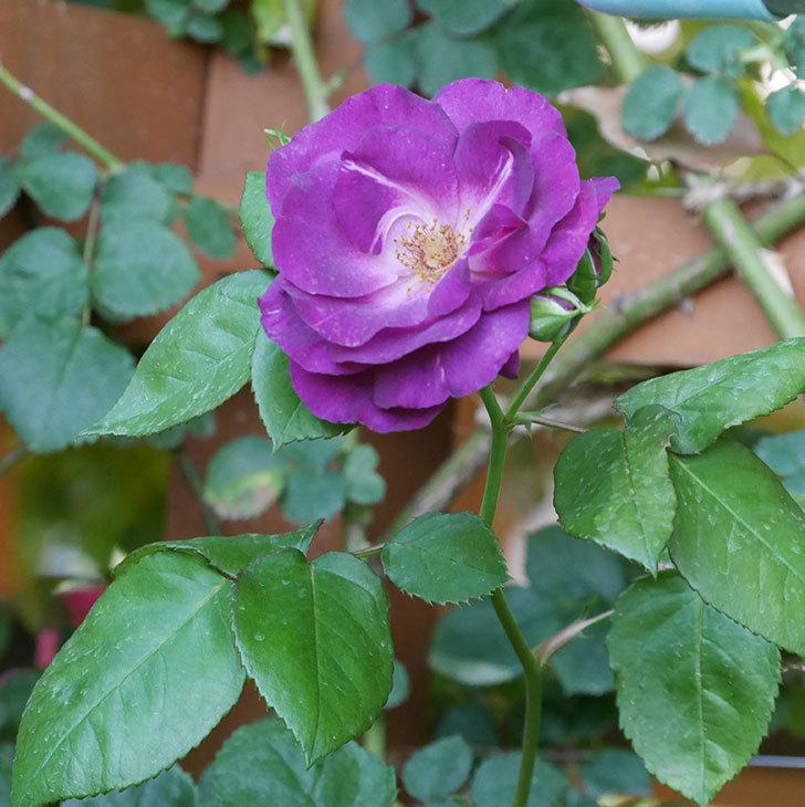 ソニャドール(ツルバラ)の花がまた咲いた。2019年-9.jpg