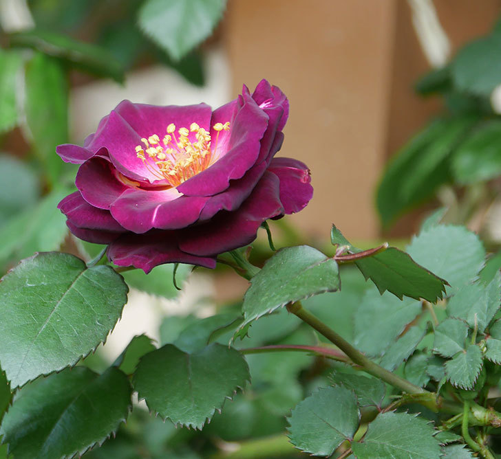 ソニャドール(ツルバラ)の花が咲いた。2020年-1.jpg
