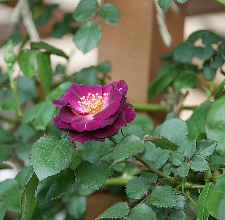 ソニャドール(ツルバラ)の花が咲いた。2020年-2.jpg