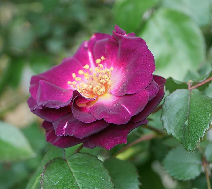 ソニャドール(ツルバラ)の花が咲いた。2020年-4.jpg