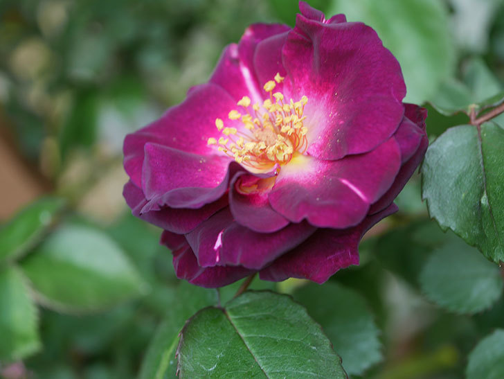 ソニャドール(ツルバラ)の花が咲いた。2020年-5.jpg