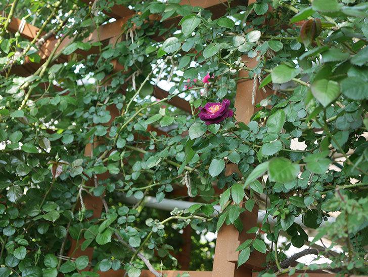 ソニャドール(ツルバラ)の花が咲いた。2020年-6.jpg