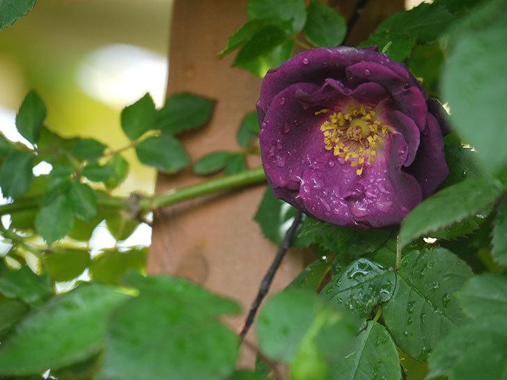 ソニャドール(ツルバラ)の花が咲きだした。2018年-1.jpg