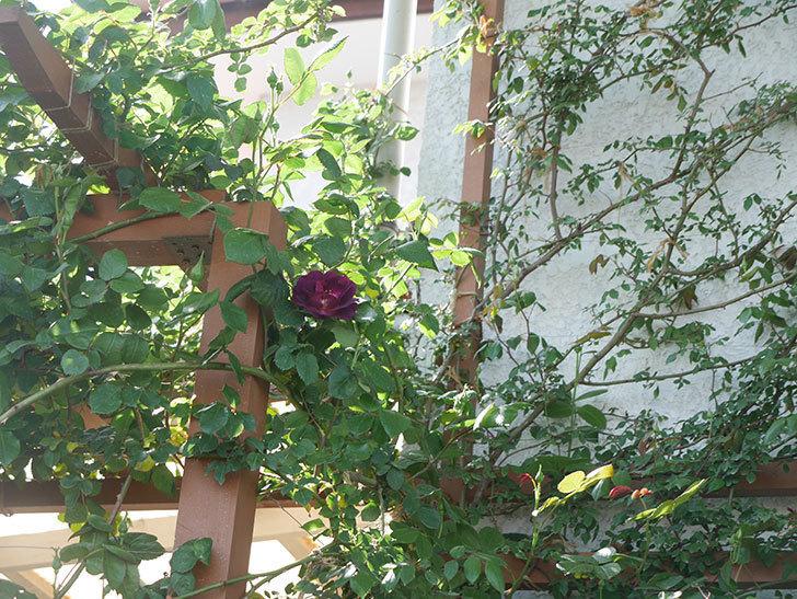 ソニャドール(ツルバラ)の花が咲きだした。2019年-5.jpg