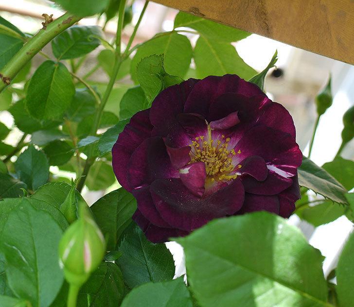 ソニャドール(ツルバラ)の花が増えてきた。2017年-1.jpg