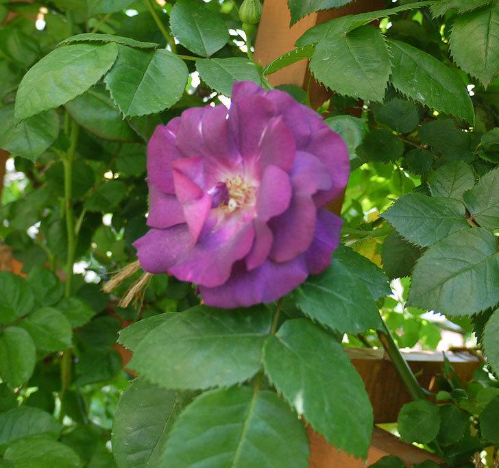 ソニャドール(ツルバラ)の花が増えてきた。2017年-3.jpg