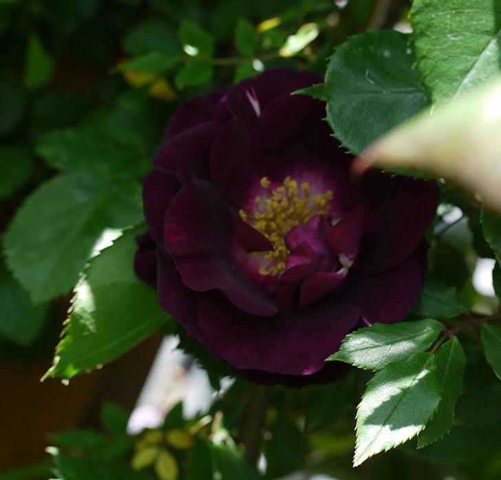ソニャドール(ツルバラ)の花が増えてきた。2017年-6.jpg