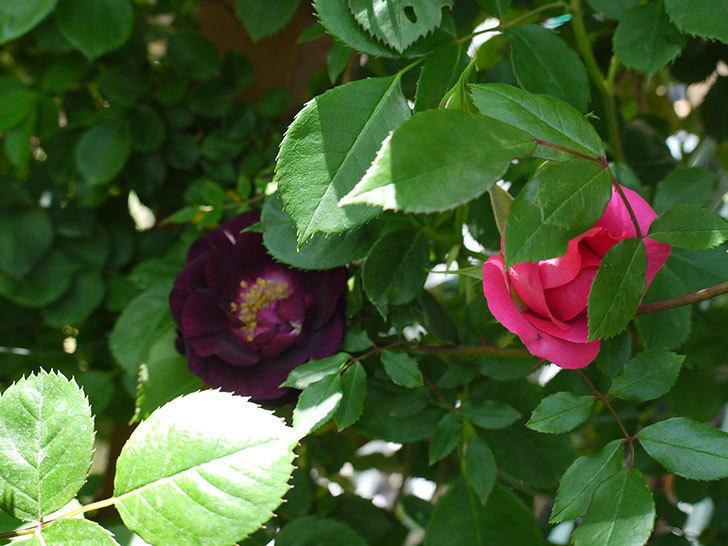 ソニャドール(ツルバラ)の花が増えてきた。2017年-7.jpg