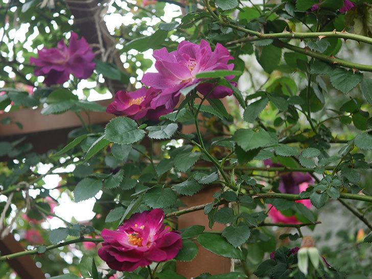 ソニャドール(ツルバラ)の花が増えてきた。2020年-1.jpg
