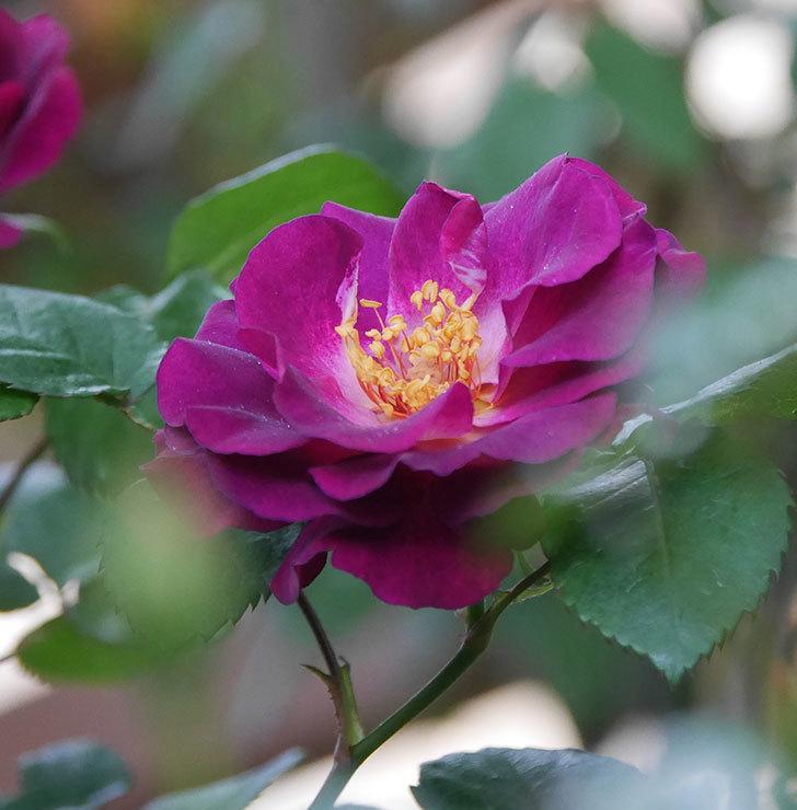 ソニャドール(ツルバラ)の花が増えてきた。2020年-10.jpg