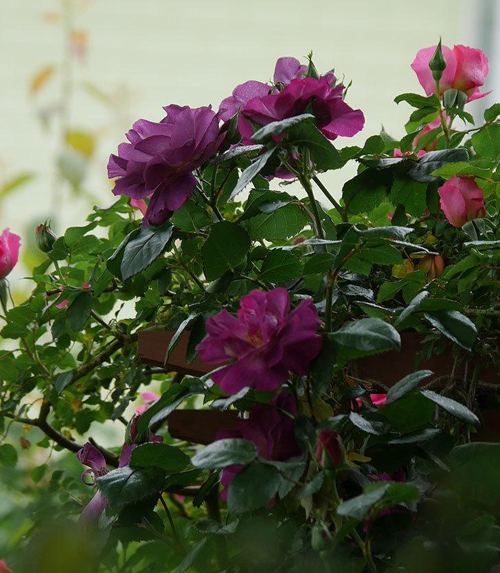 ソニャドール(ツルバラ)の花が増えてきた。2020年-11.jpg