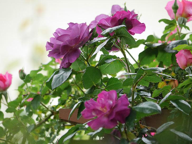 ソニャドール(ツルバラ)の花が増えてきた。2020年-12.jpg