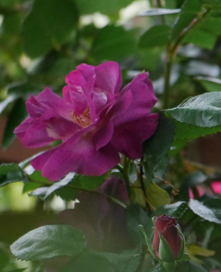 ソニャドール(ツルバラ)の花が増えてきた。2020年-13.jpg