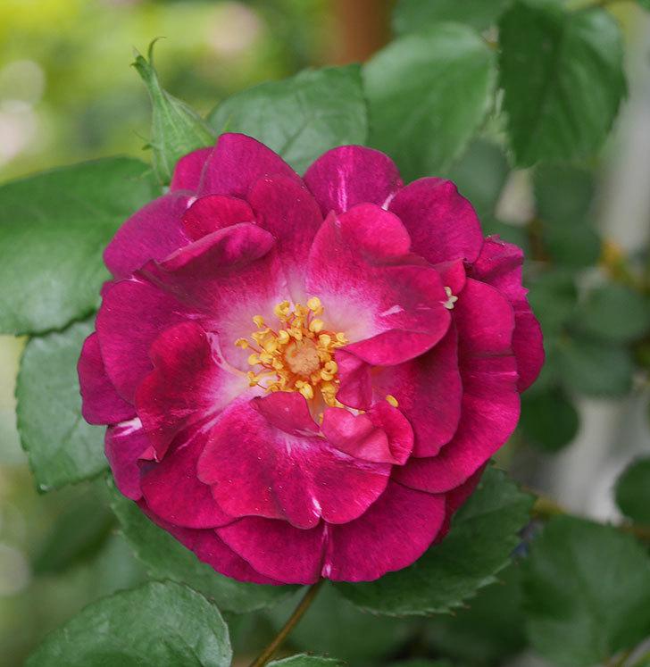 ソニャドール(ツルバラ)の花が増えてきた。2020年-2.jpg