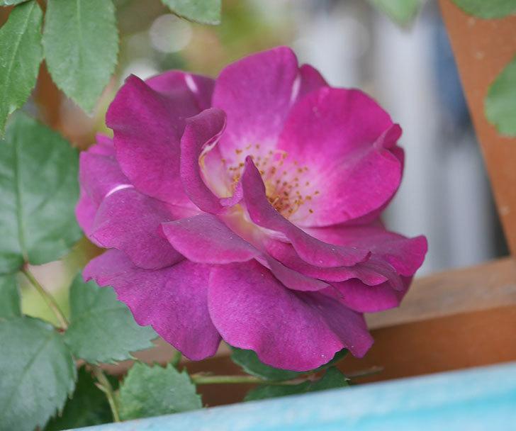 ソニャドール(ツルバラ)の花が増えてきた。2020年-3.jpg