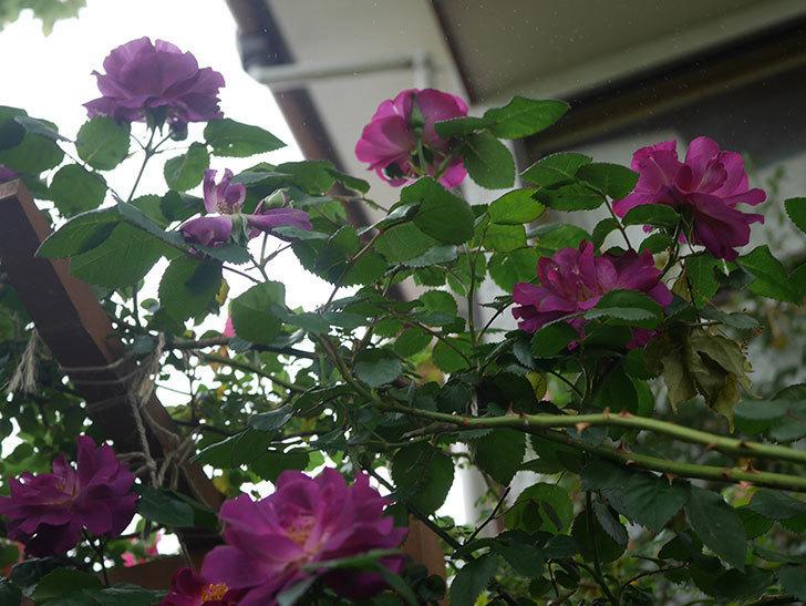 ソニャドール(ツルバラ)の花が増えてきた。2020年-4.jpg