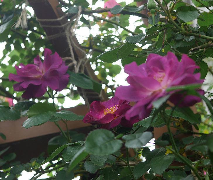 ソニャドール(ツルバラ)の花が増えてきた。2020年-5.jpg