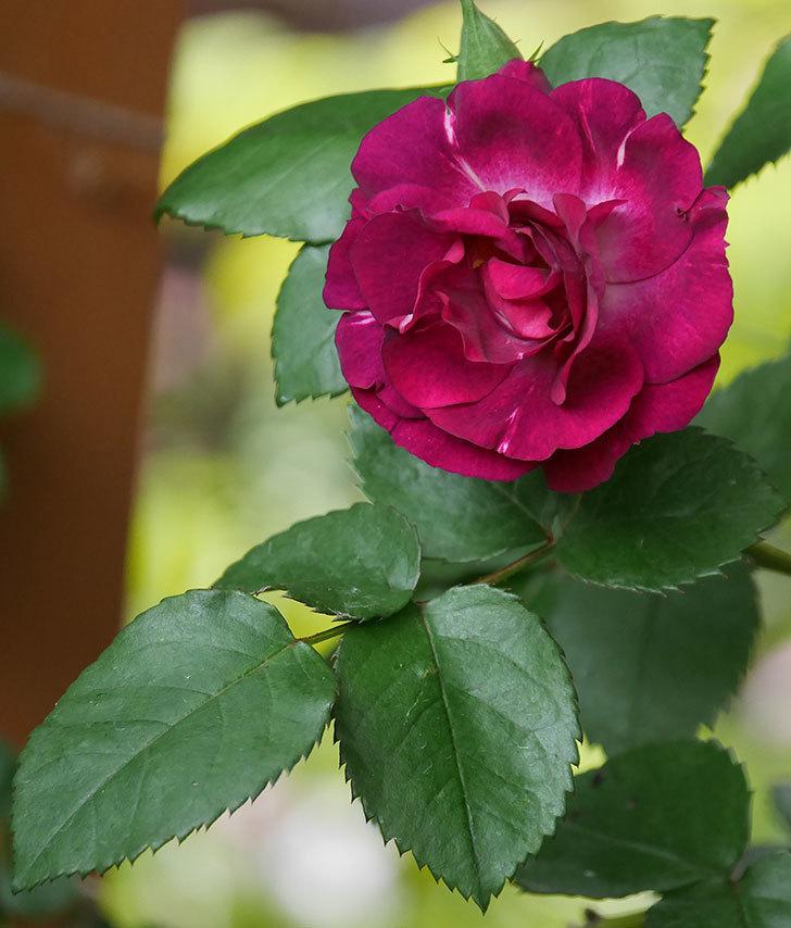 ソニャドール(ツルバラ)の花が増えてきた。2020年-6.jpg