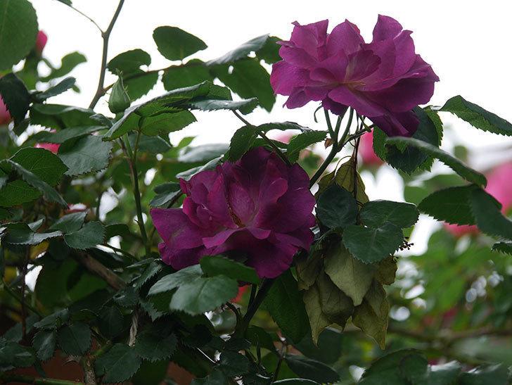 ソニャドール(ツルバラ)の花が増えてきた。2020年-7.jpg