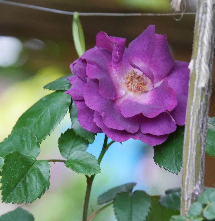 ソニャドール(ツルバラ)の花が増えてきた。2020年-8.jpg