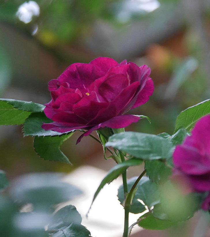 ソニャドール(ツルバラ)の花が増えてきた。2020年-9.jpg