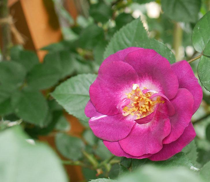 ソニャドール(ツルバラ)の花が増えて来た。2018年-1.jpg
