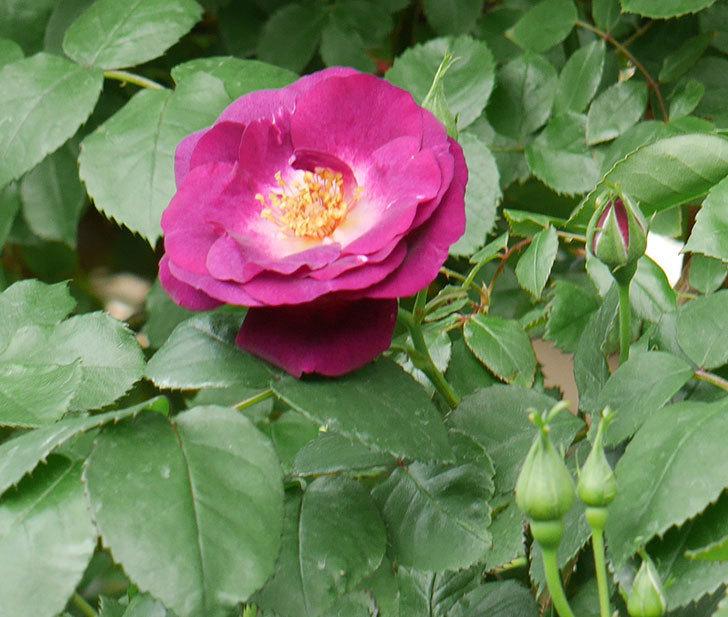 ソニャドール(ツルバラ)の花が増えて来た。2018年-10.jpg